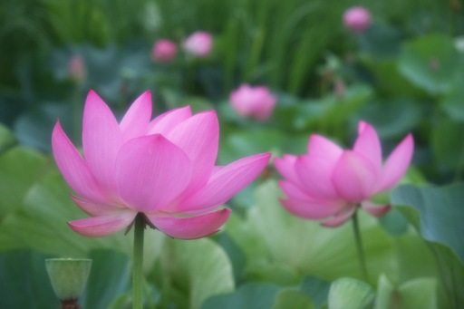 lotus_3