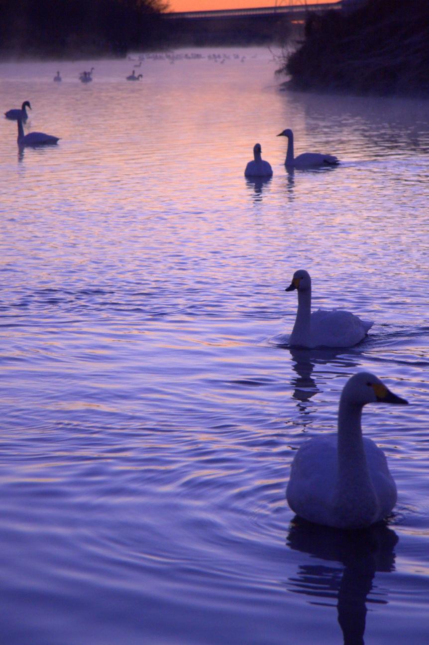 夜明けの白鳥たち